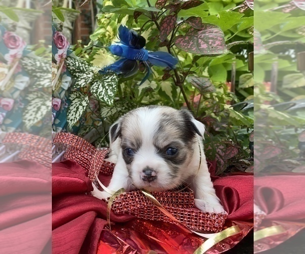 Full screen Photo #9 Bullhuahua-Chihuahua Mix Puppy For Sale in RAWSONVILLE, MI, USA