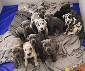 Great Dane Puppy for sale in E STROUDSBURG, PA, USA