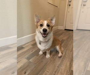 Pembroke Welsh Corgi Puppy for Sale in MANTECA, California USA