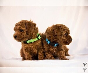 Poodle (Toy) Puppy for sale in BOWLING GREEN, KY, USA
