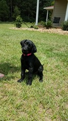 Labrador Retriever Puppy For Sale in HOCKLEY, TX, USA