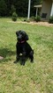 Labrador Retriever Puppy For Sale in HOCKLEY, TX,