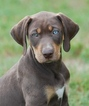 Catahoula Leopard Dog Puppy For Sale in OCALA, FL, USA