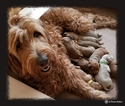 Goldendoodle Puppy For Sale in STERLING, IL, USA
