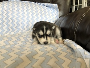 Siberian Husky Puppy For Sale in THORNTON, CO, USA