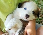 Puppy 2 Bernese Mountain Dog-Unknown Mix