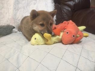 Shiba Inu Puppy for Sale in MISSOULA, Montana USA