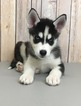 Siberian Husky Puppy For Sale in PORTSMOUTH, OH, USA