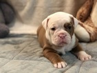 Olde English Bulldogge Puppy For Sale in WEST COVINA, CA, USA