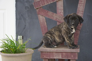Presa Canario Puppy for sale in FREDERICKSBG, OH, USA