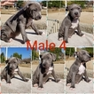 American Bully Puppy For Sale in HOMELAND, CA, USA