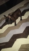 French Bulldog Puppy For Sale in EMERSON, NJ, USA