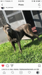 Cane Corso Puppy For Sale in ORLANDO, FL