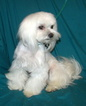 Maltese Puppy For Sale in ALAMEDA, NM, USA