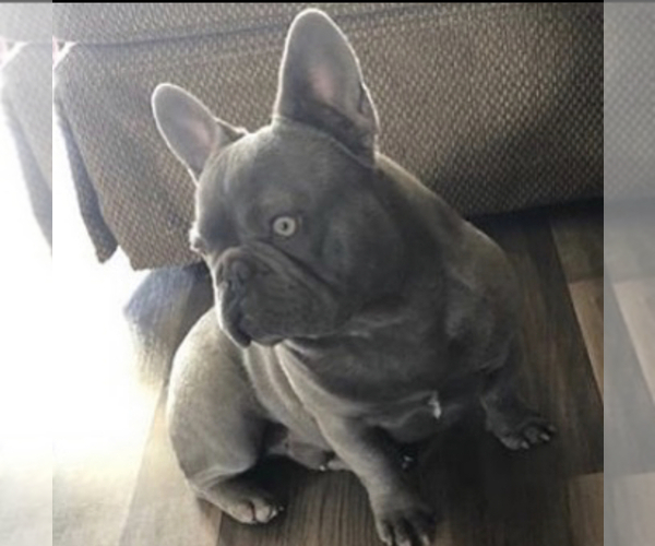 Medium Photo #1 French Bulldog Puppy For Sale in RIVERSIDE, CA, USA