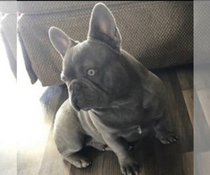 Father of the French Bulldog puppies born on 02/26/2021