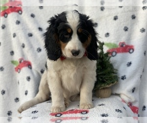 Bernese Mountain Dog Puppy for Sale in CEDAR LANE, Pennsylvania USA
