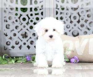 Maltipoo Dog for Adoption in MOUNT VERNON, Ohio USA