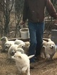 Great Pyrenees Puppy For Sale in YALE, OK, USA