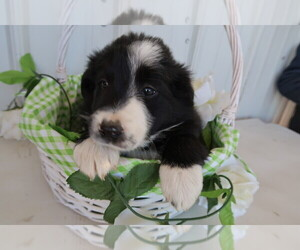 Border Collie Puppy for sale in PETOSKEY, MI, USA