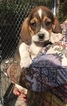 Beagle Puppy For Sale in CHUNCHULA, AL