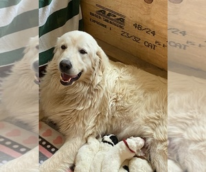 Mother of the Great Pyrenees puppies born on 06/21/2020