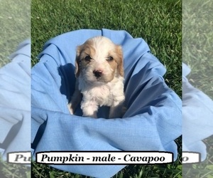 Cavapoo Puppy for sale in HOPKINSVILLE, KY, USA