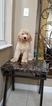 Goldendoodle Puppy For Sale in MIAMI, Florida,
