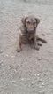 Chesapeake Bay Retriever Puppy For Sale in BAILEY, CO, USA