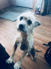 Cairn Terrier Mix Dog For Adoption in AUSTIN, TX, USA