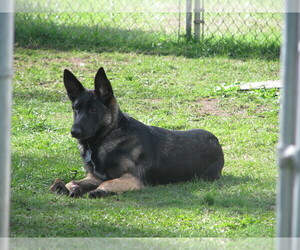 German Shepherd Dog Dog for Adoption in SPANAWAY, Washington USA