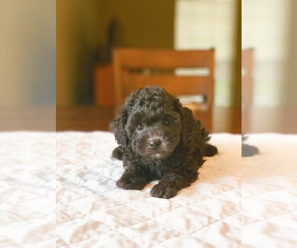 Medium Photo #1 Poodle (Standard) Puppy For Sale in HOUSTON, TX, USA