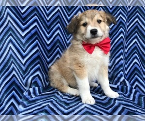 Border Collie-Golden Retriever Mix Dog for Adoption in QUARRYVILLE, Pennsylvania USA
