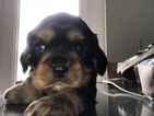 Cavalier King Charles Spaniel Puppy For Sale in BUNNELL, FL, USA