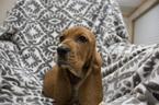 Puppy 0 Basset Hound
