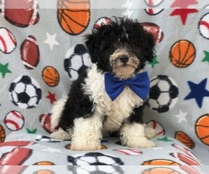 Poochon Puppy for sale in LAKELAND, FL, USA