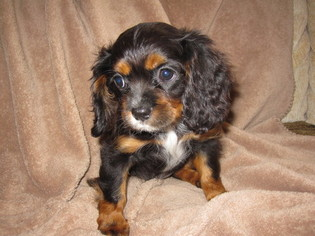 Cavalier King Charles Spaniel Puppy For Sale in DRESSER, WI