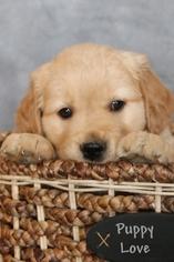 Golden Retriever Puppy For Sale in GREENCASTLE, PA