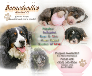 Bernedoodle Puppy for sale in WEST SALEM, OH, USA