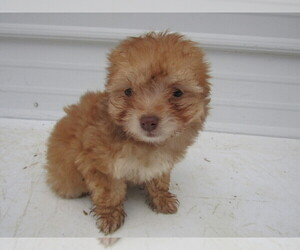 Cheenese Puppy for sale in LIMA, OH, USA