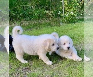 Great Pyrenees Puppy for Sale in SOLDOTNA, Alaska USA