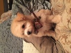 Poochon Puppy For Sale in CAPITOL HEIGHTS, MD