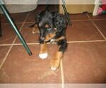 Puppy 3 English Shepherd