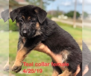 German Shepherd Dog Puppy for sale in LEEHIGH, FL, USA