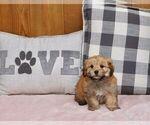 Puppy 7 YorkiePoo