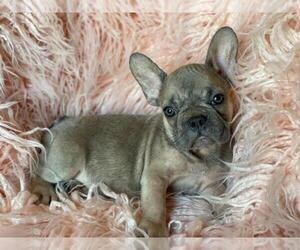 French Bulldog Puppy for sale in BOSTON, MA, USA