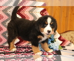 Small #1 Bernese Mountain Dog