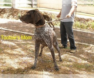 Mother of the German Shorthaired Pointer puppies born on 10/02/2017
