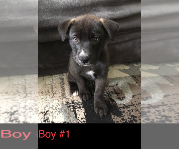 PuppyFinder com - View Ad: Photo #7 of Listing American Pit