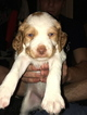 Brittany Puppy For Sale in BOCA RATON, FL, USA